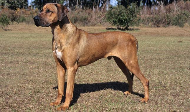 Rhodesian Ridgeback Dog Breed Information