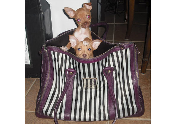 Puppies in Mommy's purse.