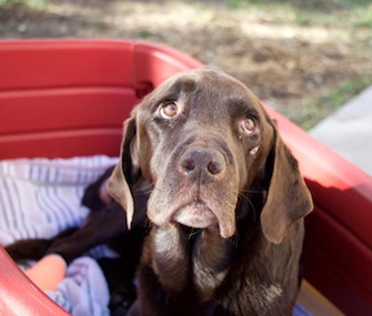 Bruno the chocolate Lab is recovering after being trapped in a well for 27 days.