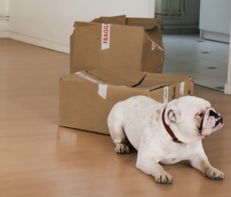bulldog and moving boxes