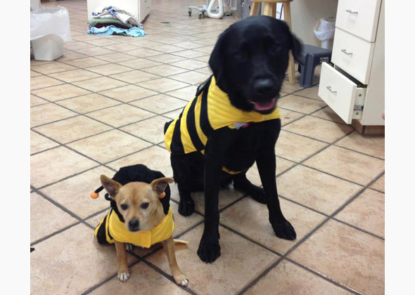 Dogs as Yellowjackets