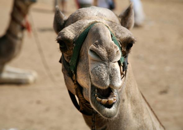 Smiling Camel