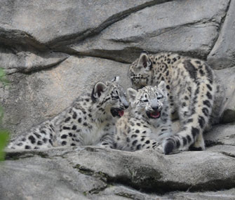 Snow leopard cubs at Akron Zoo