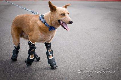 Dog With Prosthesis