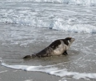 Snow, a juvenile harp seal, was released into the cold Maine waters after a month of rehabilitation.