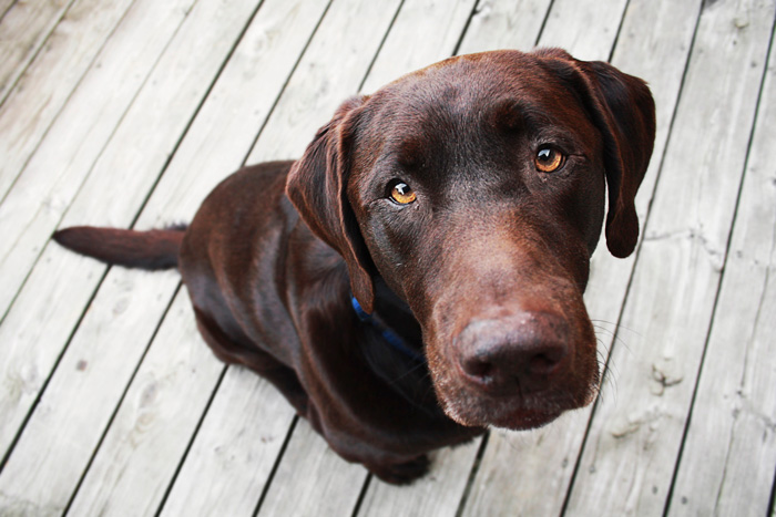 Labrador Retriever looking up at camera