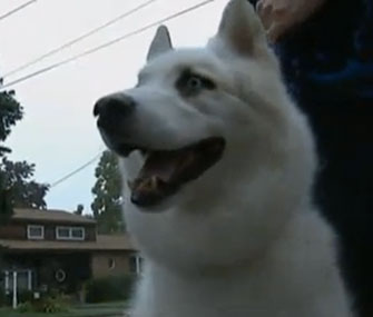 Zander, a husky mix, walked two miles to find his hospitalized owner.
