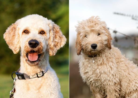 Designer dogs breeds