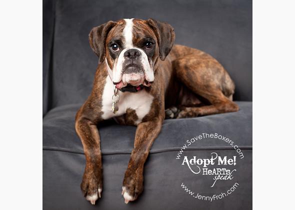 adoptable boxer