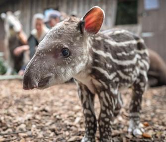 Chester Zoo Tapir
