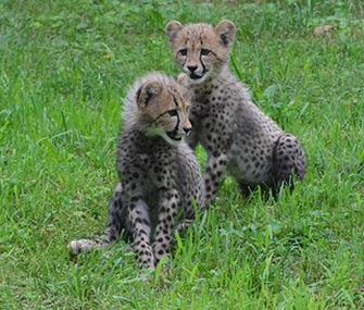 Brother and sister cheetah cubs explore their yard at the National Zoo.