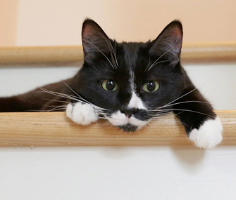 Ripley the domestic shorthair rescue cat