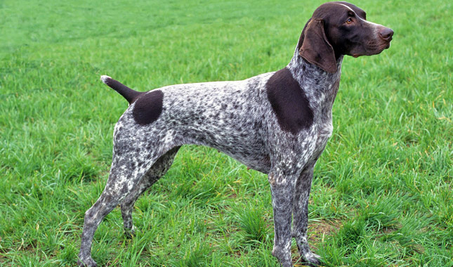 Best Small Shorthair Dog Breeds