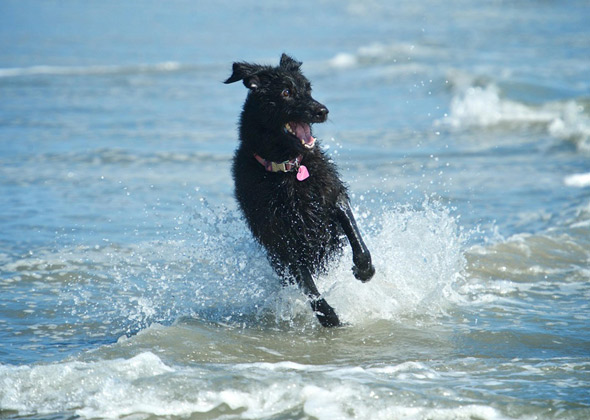 Abby the Poodle-Shepherd mix runs through the water at the dog beach