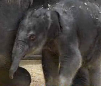 The Oregon Zoo says its baby elephant will stay there.