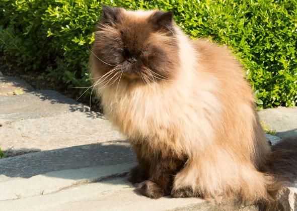 Martha Stewart's Himalayan cat