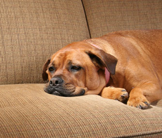 A sick dog lies on a couch