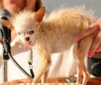 Yoda, the World's Ugliest Dog