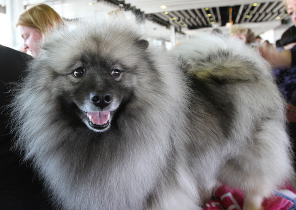 Westminster Haiti the Keeshond