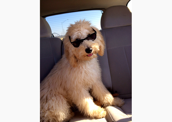 Ralphie the Goldendoodle in glasses