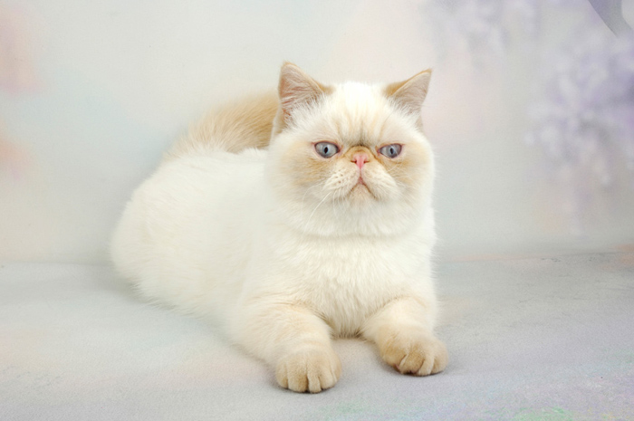 Exotic Shorthair Cat For Sale Seattle