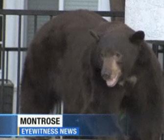 Black bear in Glendale, Calif.