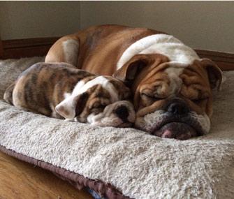Bulldogs Sleeping