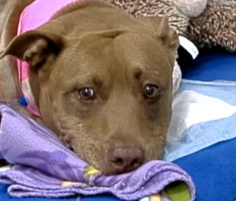 Lilly the Pit Bull saved her owner from an oncoming train.