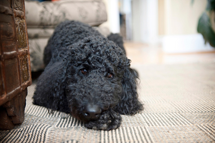 Poodle Laying on Carpet