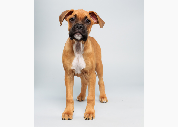 August the Boxer, Animal Planet Puppy Bowl X