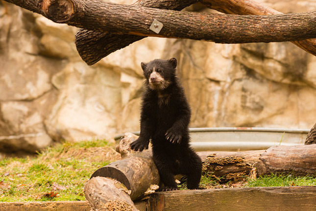 Andean Bear Cub National Zoo
