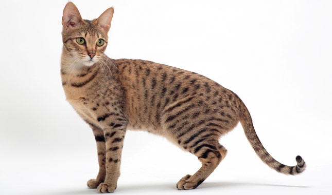 Savannah Domestic Cat Breed