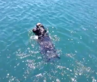 A newborn otter pup is reunited with her mom in Morro Bay.