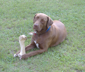 Budreaux in Grass With Bone
