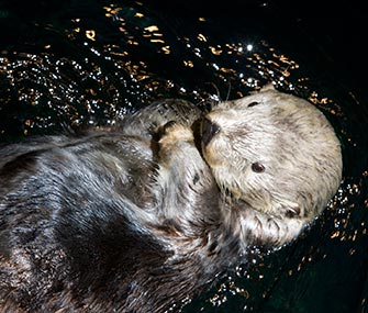 Kenai, a sea otter who survived the Exxon Valdez oil spill, died at the Shedd Aquarium