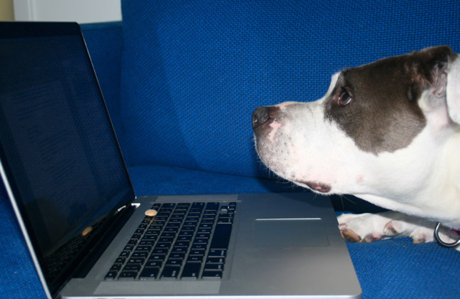 Baby the Pit Bull and laptop