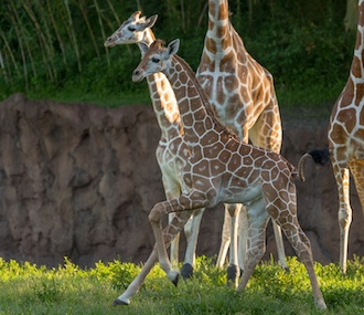 Two reticulated giraffe calves were born in June at Busch Gardens Tampa.