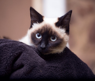 Siamese cat with blanket
