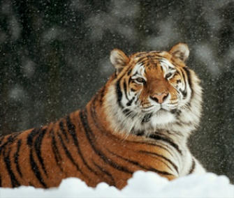 The tiger is the most popular species to adopt from the WWF.