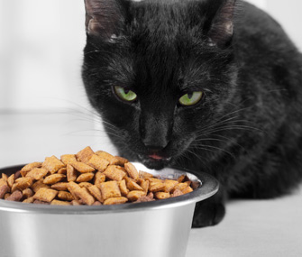 Cat eating dry food