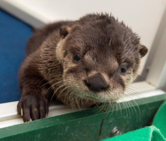 Oregon Zoo orphaned river otter