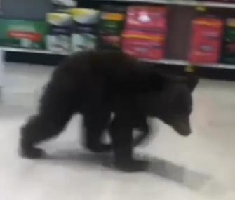 A bear cub wandered into an Oregon Rite-Aid Sunday.