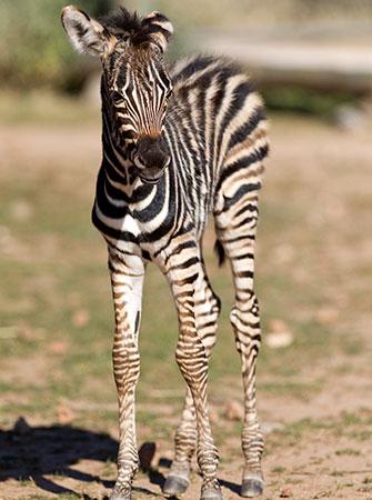 Zebra filly born at the Monarto Zoo in Australia