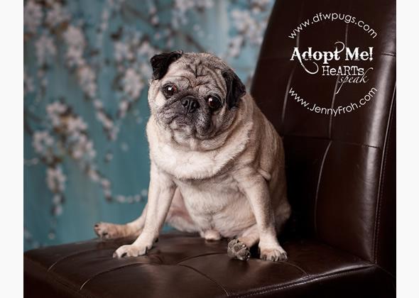 adoptable pug