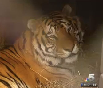 Tacoma, a 13-year-old tiger, rests after hip surgery.