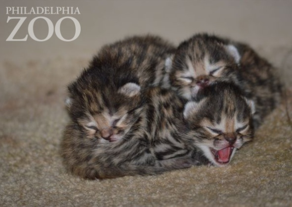 Philadelphia Zoo black footed cats