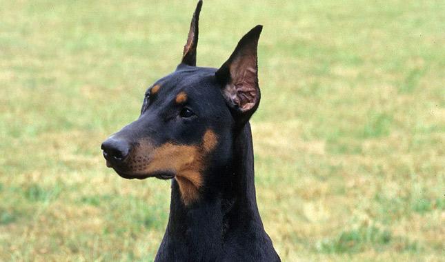 Dog Show Min Pin