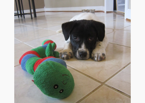 Puppy plays with toy.