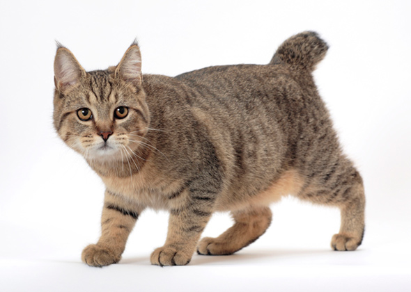 Pixiebob cat breed