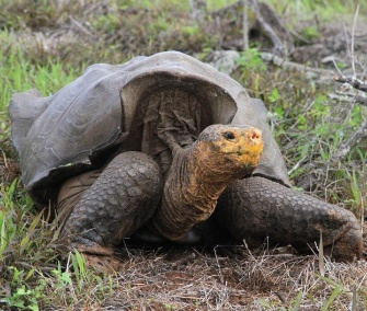 The endangered giant tortoise has made a dramatic comeback on the Galapagos island of Espanola.